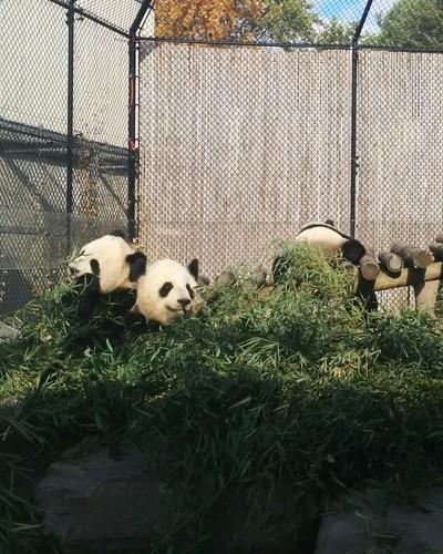 Er Shun, Jia Panpan, Jia Yueyue (4) #toronto #torontozoo #pandas #giantpandaexperience #ershun #jiapanpan #jiayueyue #bamboo #latergram