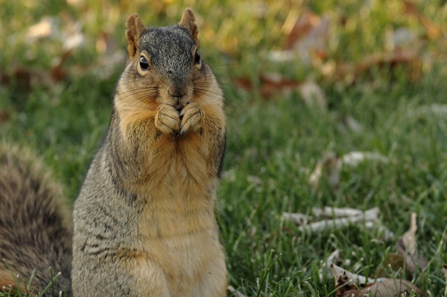 Squirrel, Morton Arboretum. 417 (EOS)