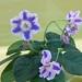 非洲紫羅蘭 Saintpaulia DS-Shining Bell Sport   [香港北區花鳥蟲魚展 North District Flower Show, Hong Kong]