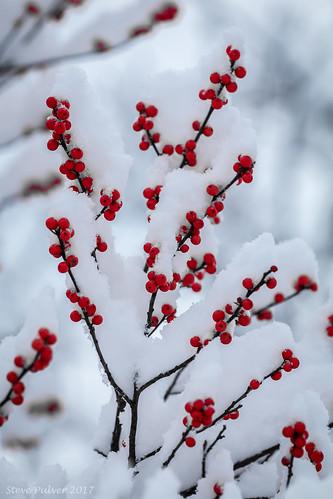 greenville newyork ny upstateny winter red snow berries tree bush color landscape nature canon70d canon70200f4l intimatelandscape