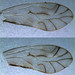 Chilenocaecilius ornatipennis, Kingmoor Nature Reserve, 20 Dec 17 (2 of 2)