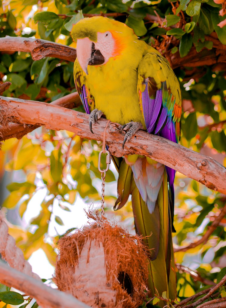 Scarlet Macaw_v2