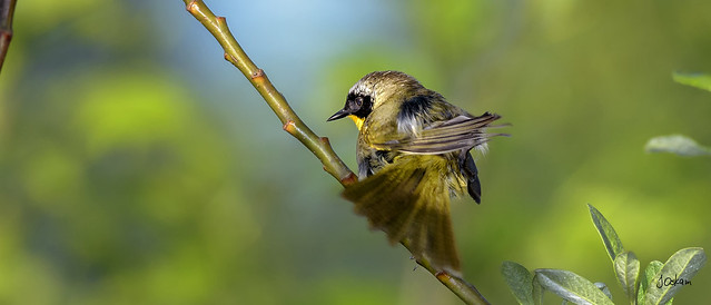 Commond Yellowthroat
