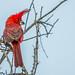 Vermilion Cardinal by Ferney Salgado