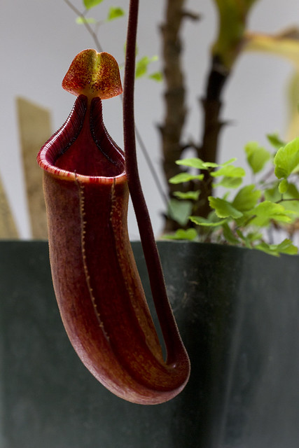 Nepenthes 'Peter D'Amato' x maxima