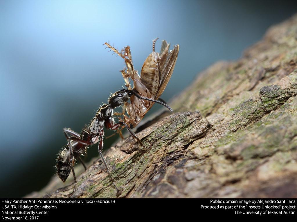 Hairy Panther Ant (Ponerinae, Neoponera villosa (Fabricius))