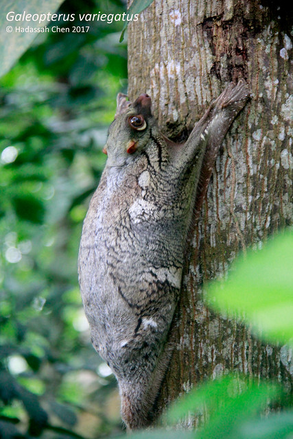 Malayan Colugo photographed in the forest of Singapore