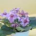 非洲紫羅蘭 Saintpaulia RS-Ogon Zhelaniy  [香港北區花鳥蟲魚展 North District Flower Show, Hong Kong]