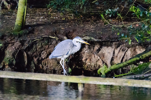 Young heron,down for a drink