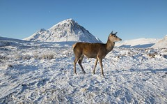 Red deer Glencoe