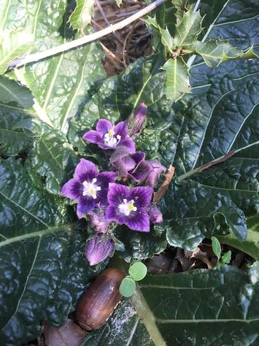 Mandrake Flowers