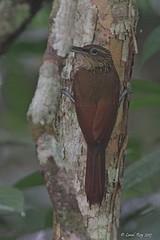 1.12824 Grimpar cacao / Xiphorhynchus susurrans marginatus / Cocoa Woodcreeper