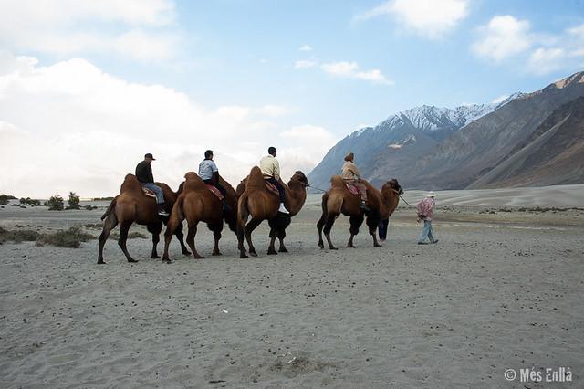 Camellos Bactrianos en Hunder