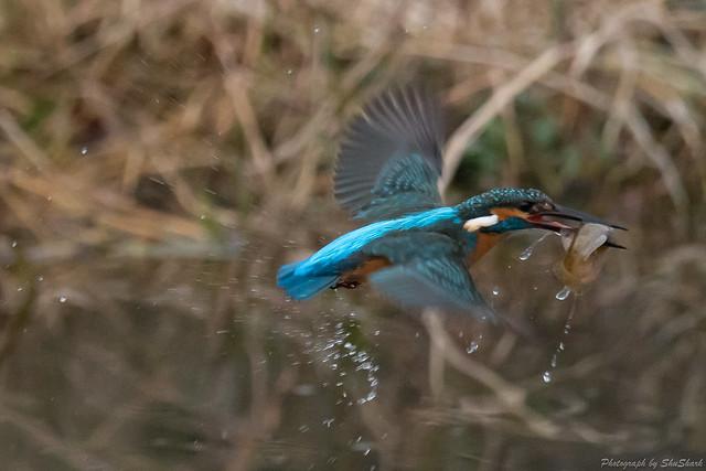 20171224-kingfisher-DSC_1519