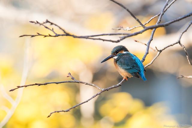 20171229-kingfisher-DSC_2924