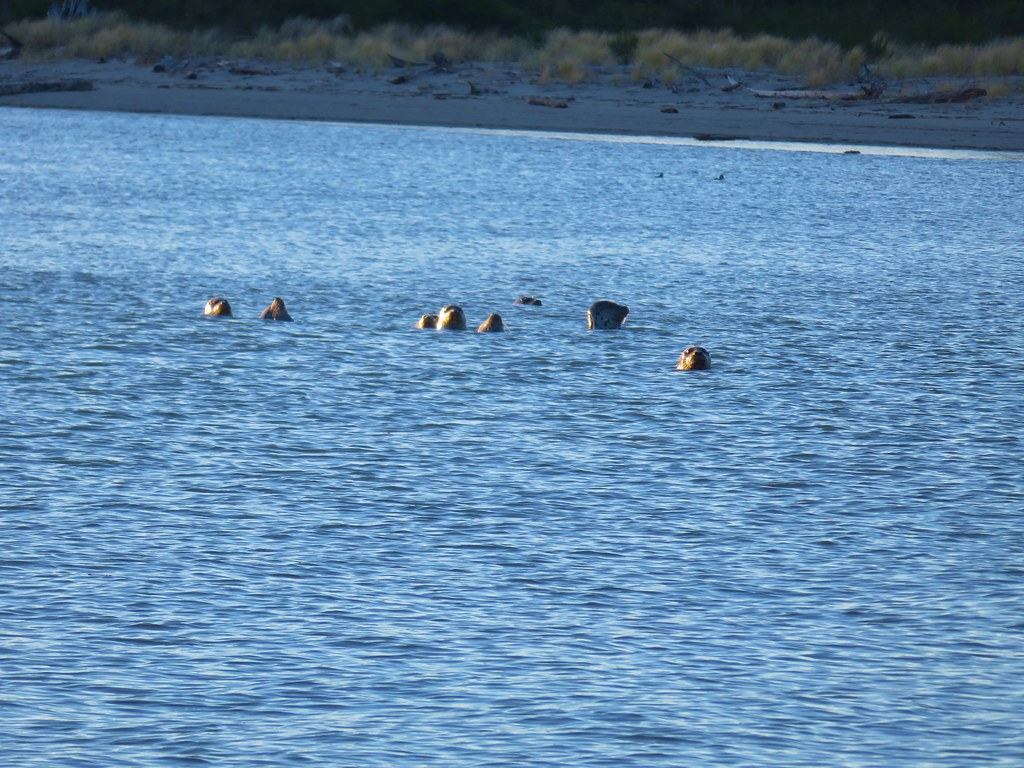 Seals in Nehalem Bay