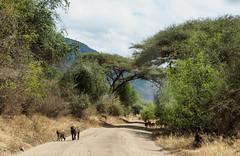 2017 Lake Manyara, baboons