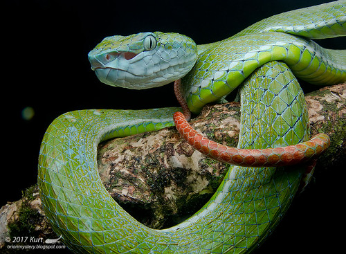 Trimeresurus hageni_MG_8816 copy