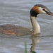 Great Crested Grebe fishing at Leighton Moss