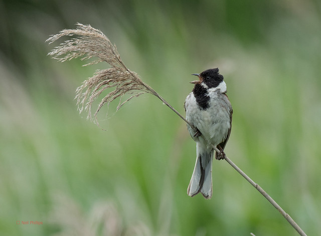 37 reed bunting - Best2017