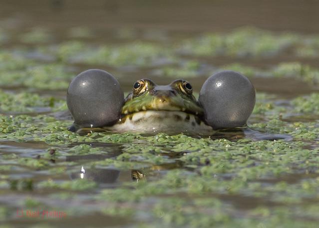 29 marsh frog - Best2017