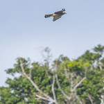 Accipiter nisus nisosimilis - male Eurasian Sparrowhawk