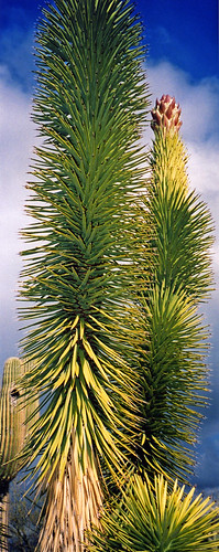 Yucca tree in Arizona, USA