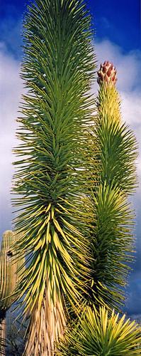 Yucca tree in Arizona, USA