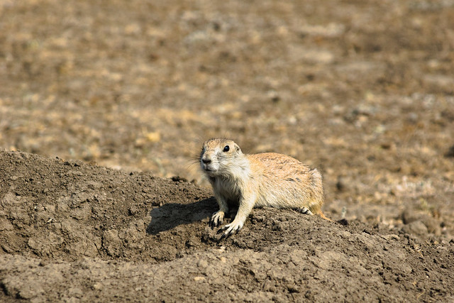 Black-tailed Prairie Dog poses, Sony SLT-A77V, Tamron SP AF 200-500mm F5.0-6.3 Di LD IF