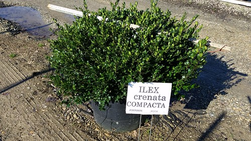 Ilex crenata Compacta 7 gal 24-30 | by Johnson Farms