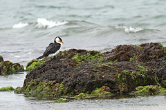 Little Pied Cormorant (260A1000)