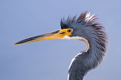Tricolor Heron Close Up, Crest Feathers Up