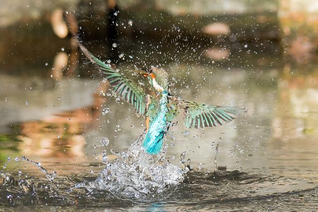 20171229-kingfisher-DSC_3052