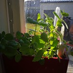 spearmint planting in indoor plants by shiny