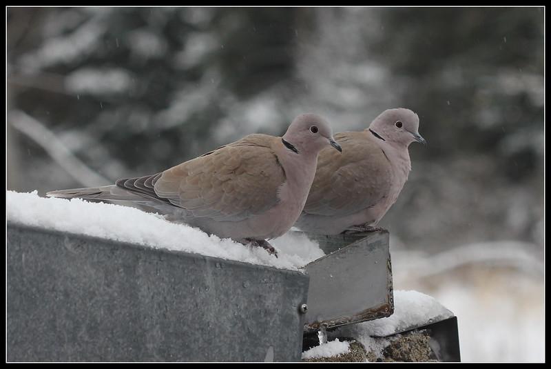les visiteurs à plumes sauvages  2 - Page 13 38208166965_65244d0b0f_c