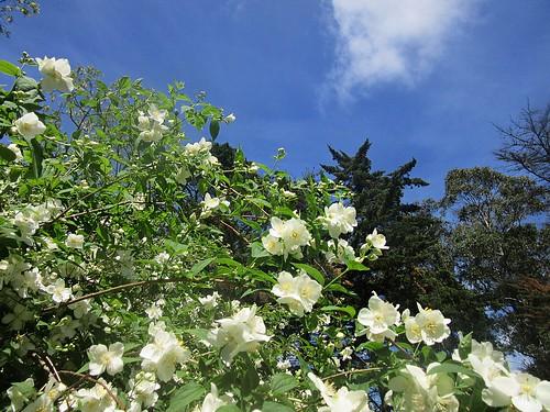 Naranjo en flor