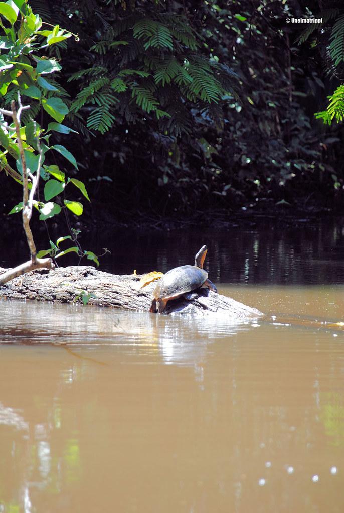 Kilpikonna, Tortuguero, Costa Rica