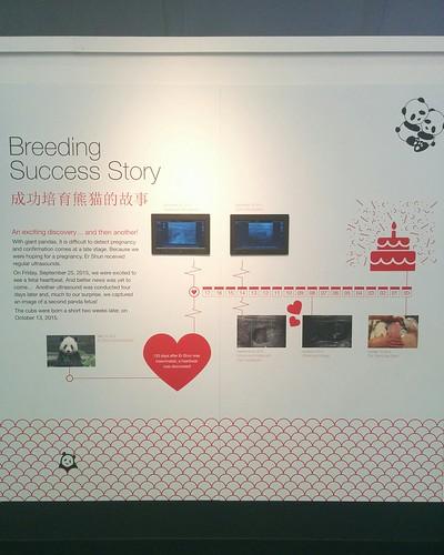 """Breeding success story"" #toronto #torontozoo #pandas #giantpandaexperience #latergram"
