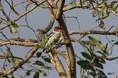1.15155 Tityre masqué (femelle) / Tityra semifasciata columbiana / Masked Tityra