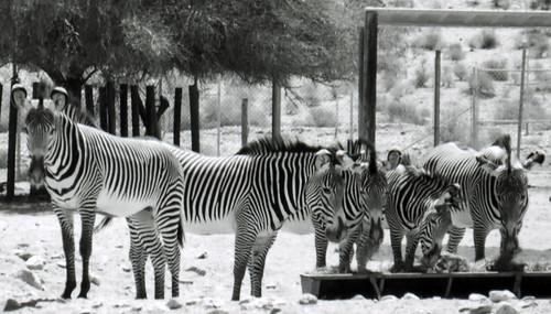 Zebras, Living Desert - 2001 (2)