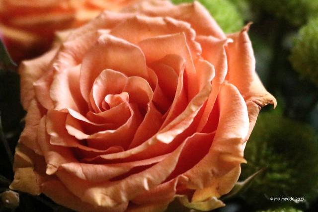 Rosengruß ...