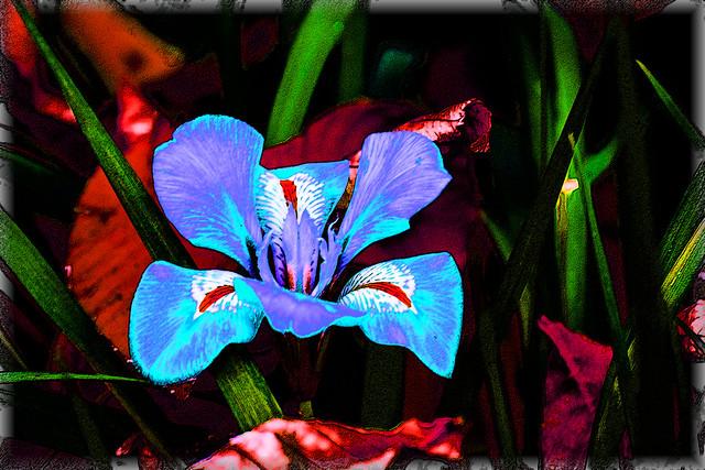 Iris invernal