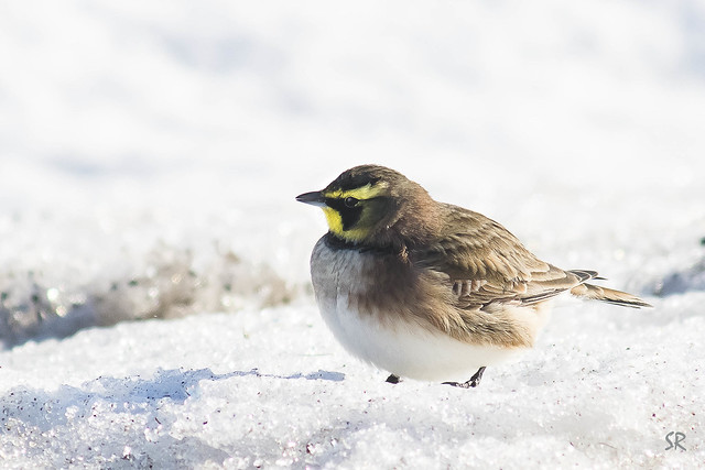 Horned lark, Nikon D7100, AF Zoom-Nikkor 75-300mm f/4.5-5.6