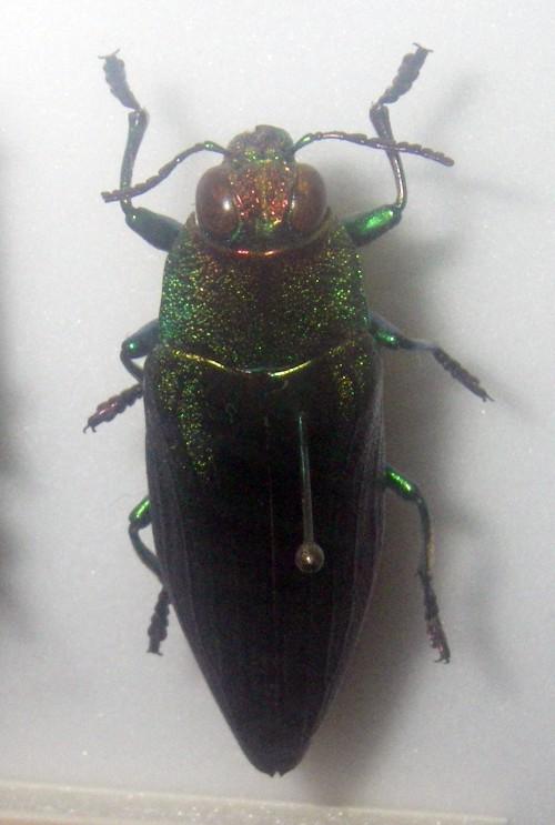 Chrysochroa purpureiventris 39212133472_63694a3f9d_o