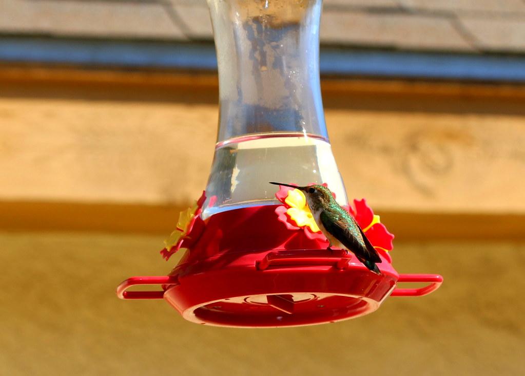 hummingbird-06