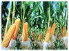 Zea mays (Maize, Corn, Sweet Corn, Indian Corn, Jagung in Malay)