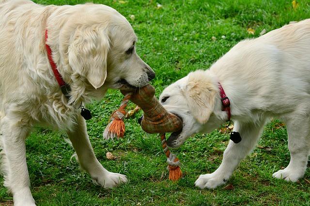 おもちゃを噛む子犬と母犬