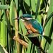 Kingfisher Greylake RSPB F00077 D210bob DSC_7388