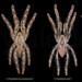 Poecilotheria males comparison