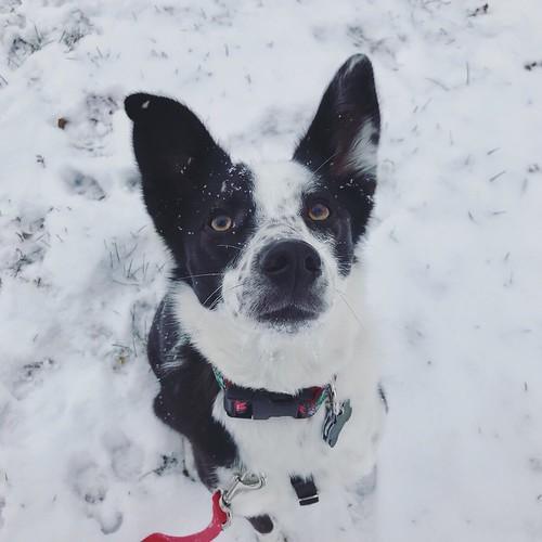 snow pup #bordercolliemix #bordercollie #greatlakesbordercollierescue #glbcr #doglife #dogsinsnow